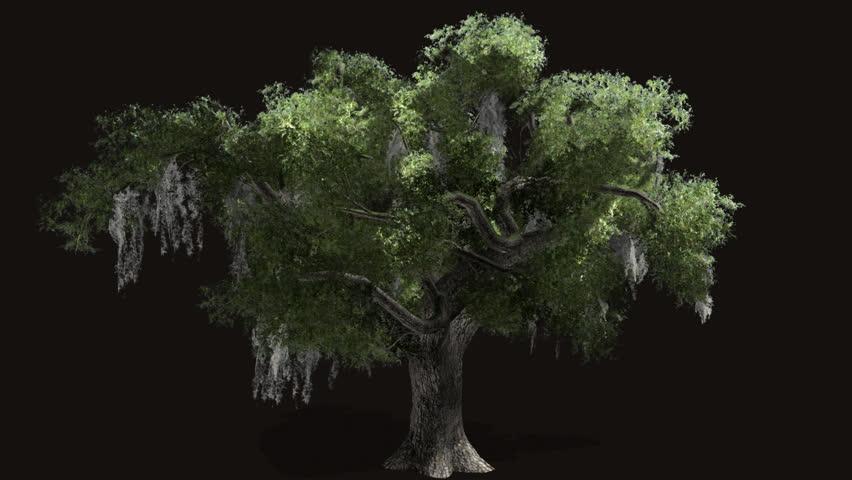 oak tree with alpha