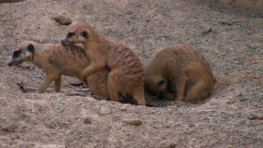 Three Meerkat babies playing - HD stock footage clip