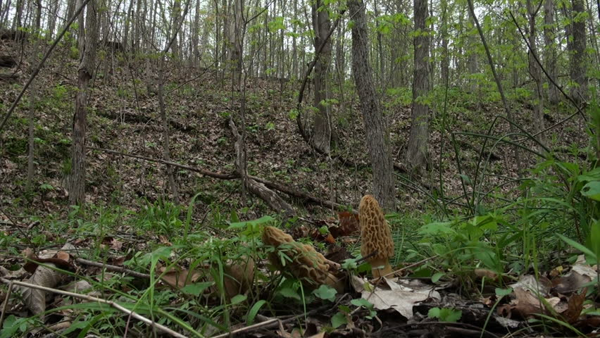 Young boy searching for and finding large  morel mushrooms in the woods in spring. - HD stock video clip