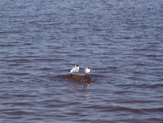 Birds. seagull - SD stock video clip