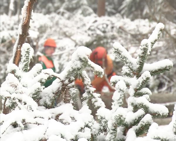 woodcutters cut snow-covered trees with petrol saw in winter. forest care and management. preparation of wood for fuel. \