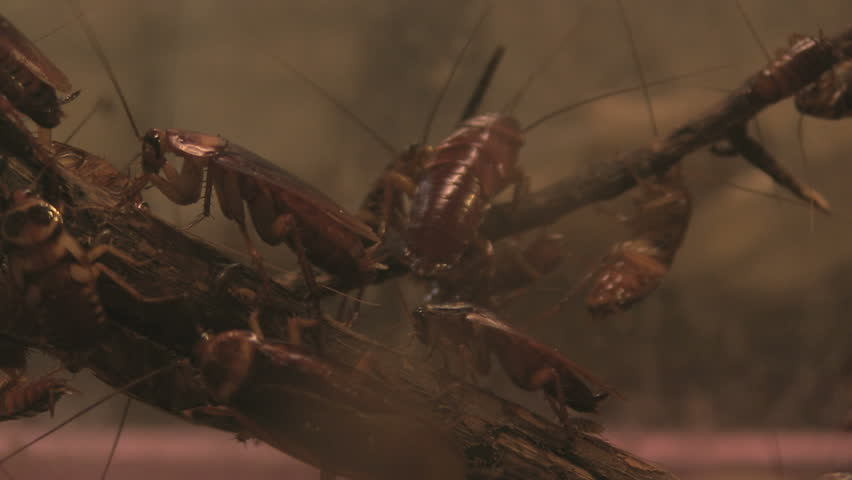 Header of American Cockroaches