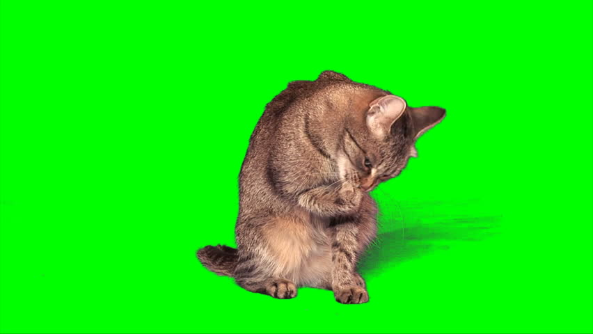 Grey stripy cat washes itself on green screen - HD stock video clip
