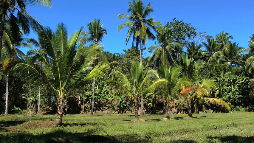Coconut and banana farm in Philippines - HD stock video clip