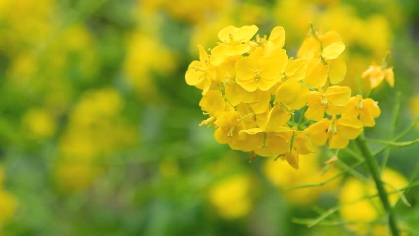 Golden field of canola flowers.