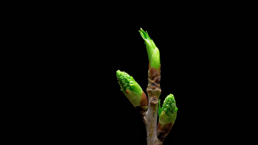 Time-lapse macro leaf bud growing - isolated on black background. Closeup of green twig with leaf buds - HD stock video clip