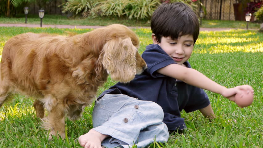 Kid with Cocker Dog (HD). Child four years old hispanic origin with cocker spaniel female dog playing and petting.