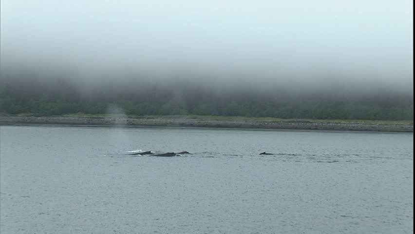 Humpback Whale Breach and Dive nice breach then several whales dives with tails, Point Adolphus, Alaska - HD stock footage clip