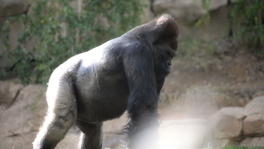 large silverback gorilla walking slowly - HD stock video clip