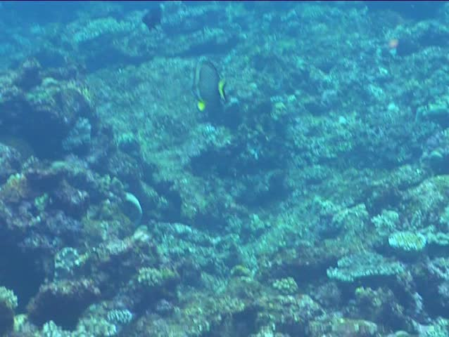 Header of Acanthurus guttatus