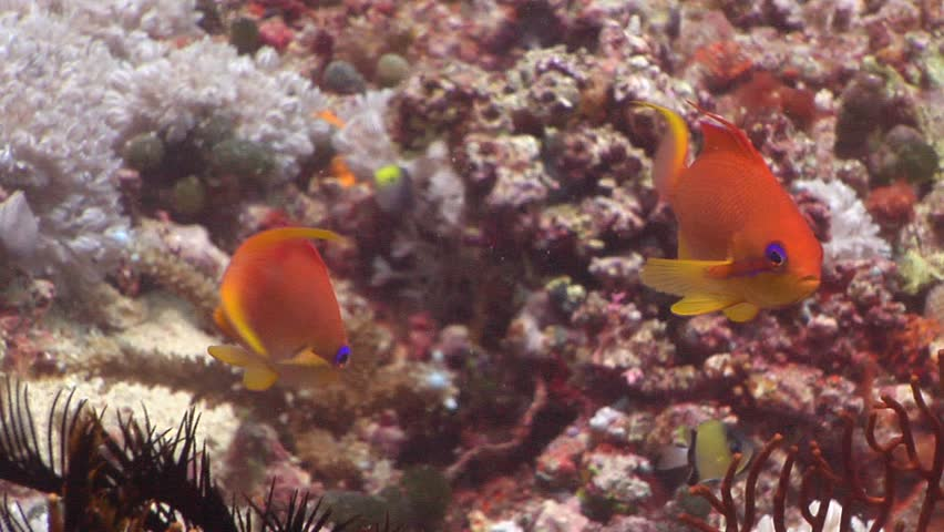 Female adult Scalefin anthias (Pseudanthias squamipinnis) swimming underwater in Fiji Islands - HD stock footage clip