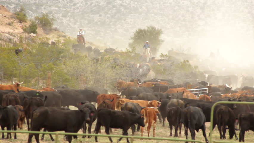 Cattle Herd and Cowboys in Dust HD 30P 8s: Long shot of a herd of cattle coming in from the range. Dust and cowboys round up the cattle and bring them in for the season.