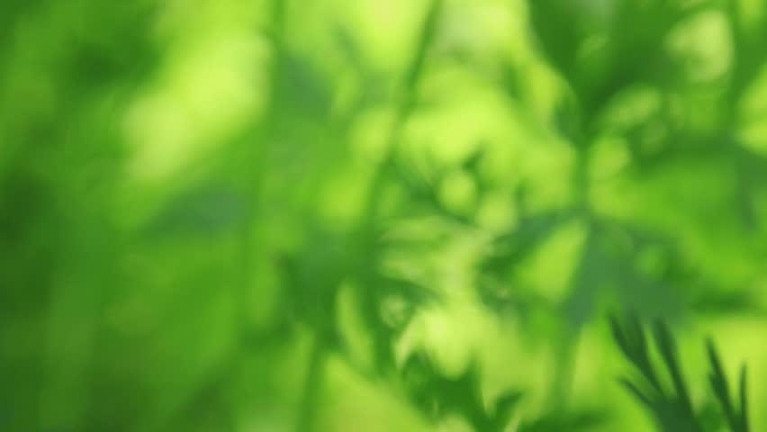 carrot green leaves