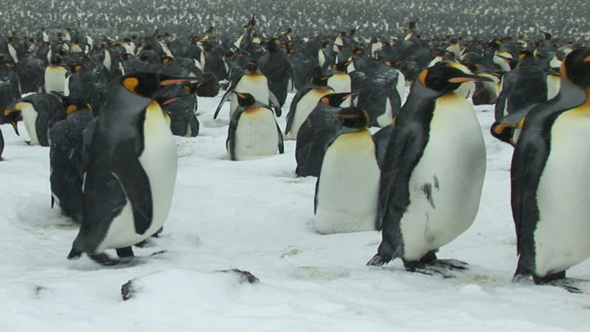 South Georgia and the South Sandwich Islands: crowd of thousands of king penguins on seashore.  - HD stock footage clip