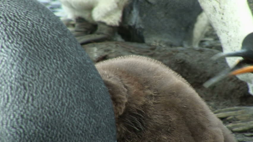 South Georgia and the South Sandwich Islands: king penguin feeding baby.