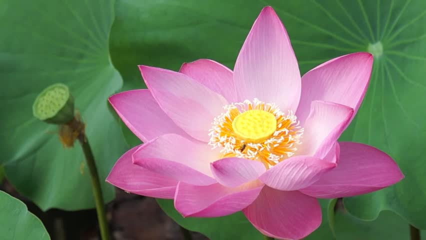 Red Lotus Flower In The Peaceful Pond. Stock Footage Video ...