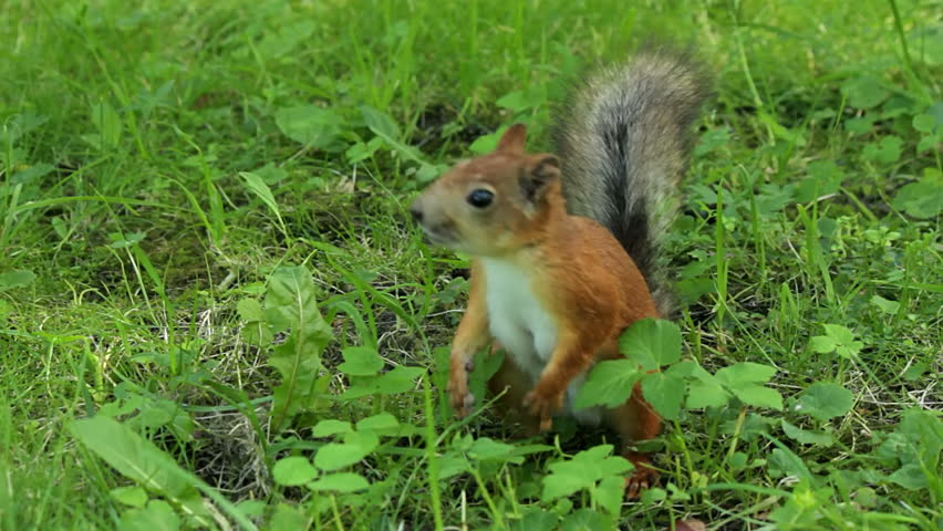 Squirrel running around in the grass and scare the bird - HD stock video clip