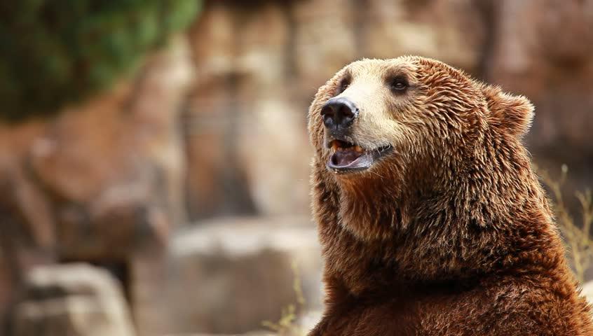 Brown bear looking for food in Madrid Zoo