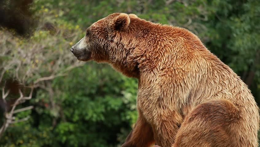 Grizzly Bears of Canada | Grizzly Bear  |Brown Bear Food
