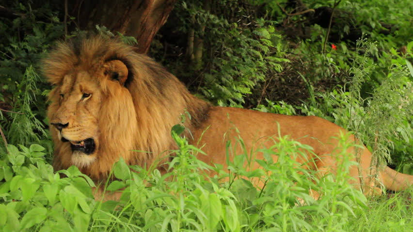 Medium shot of a Male Lion (Panthera leo) lying down panting and looking around. Note: this is not a captive animal in a zoo or theme park - this lion is wild and filmed on location in Africa