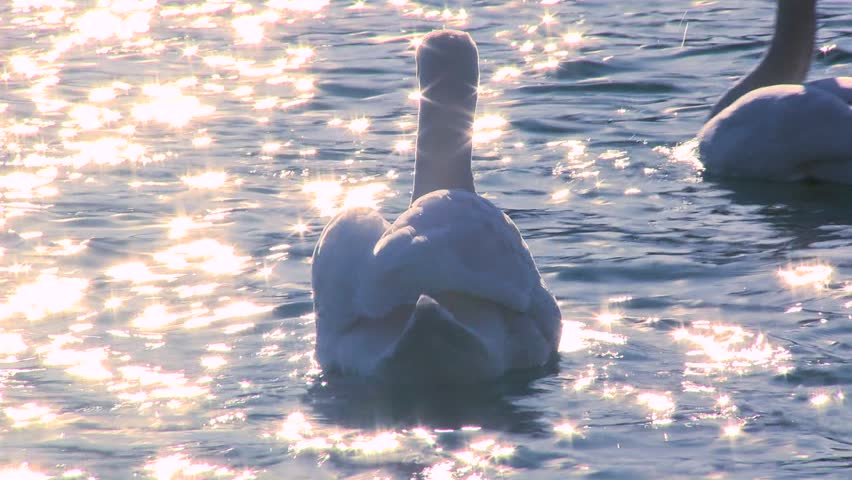 LAKE BLED, SLOVENIA-CIRCA 2011-Two white swans float on sparkling water in a lake. - HD stock video clip