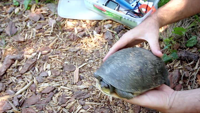 An Endangered Blanding's Turtle (Emydoidea blandingii) is Studied and Examined as Part of a Scientific Research Project. Video details conservation biology at work. - HD stock video clip