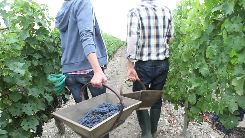 Harvesters walking in vineyard rows