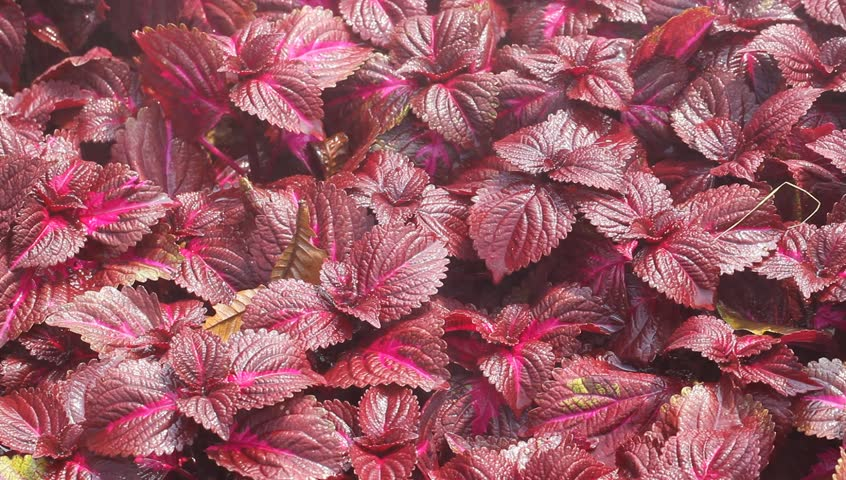 Header of coleus