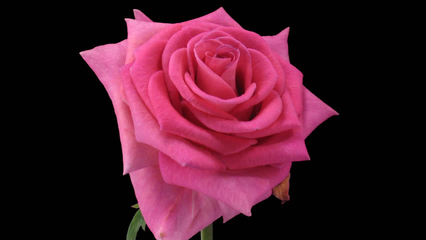 """Time-lapse of dying pink """"Attachea"""" rose 3c in PNG+ format with alpha transparent channel isolated on black background"""
