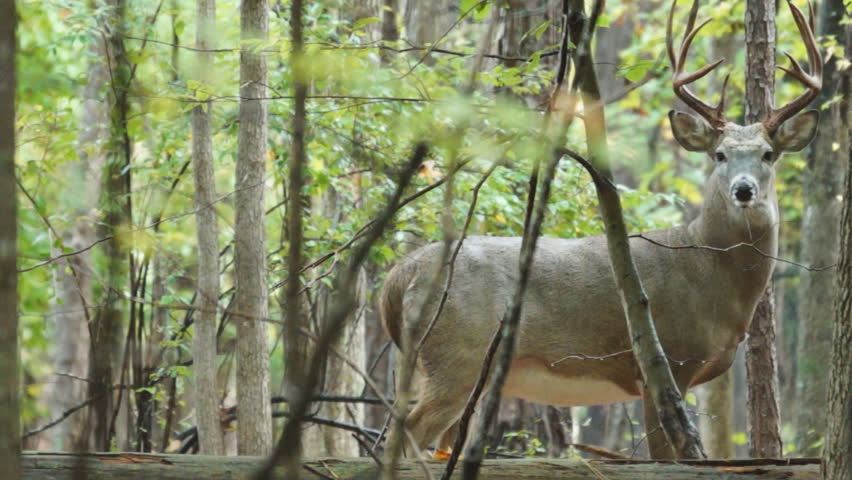 Whitetail Deer mature buck, October in Georgia - HD stock footage clip