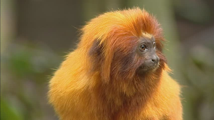 Golden lion tamarin (leontopithecus rosalia rosalia) medium shot. Golden lion tamarins are Native to the Atlantic coastal forests of Brazil.