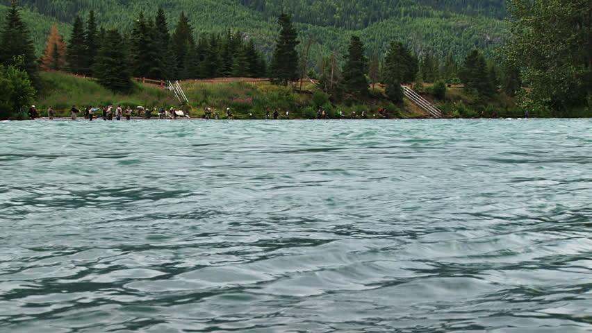 Sockeye salmon jumping from glacier melt waters of kenai for Kenai river fish counts