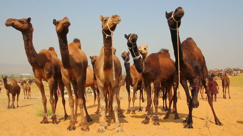 Group Of Camels 2