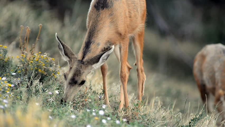A mule deer stands in the grass and feeds off wild flowers in the valley during the day.