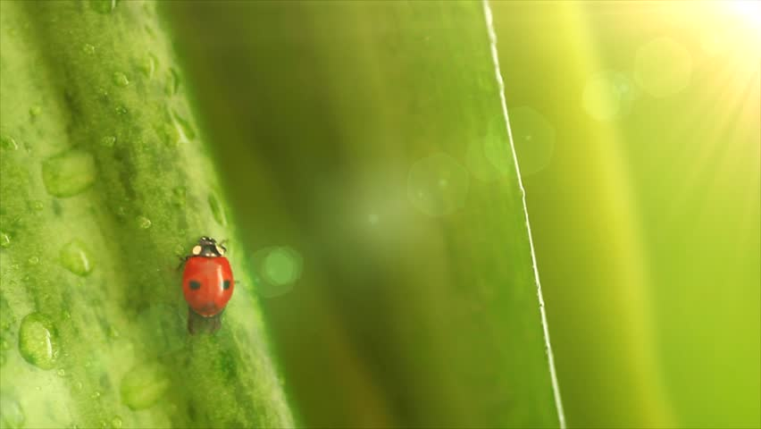 Ladybug on the flower leaves - HD stock video clip