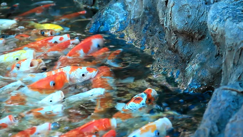 Fish feeding fancy carp colorful pond fish when feeding for Colorful pond fish