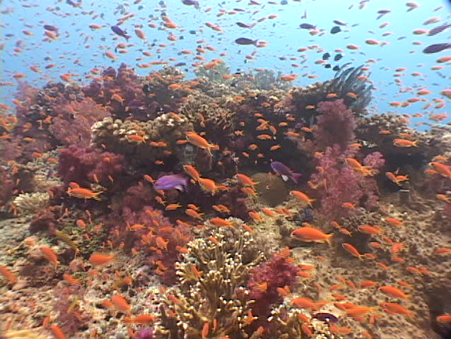 Panoramic view of coral and tropical fish of Fiji, South Pacific. - SD stock video clip