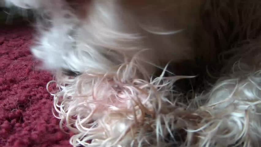 Small white dog is licking paw incessantly due to injury, in natural light. - HD stock video clip