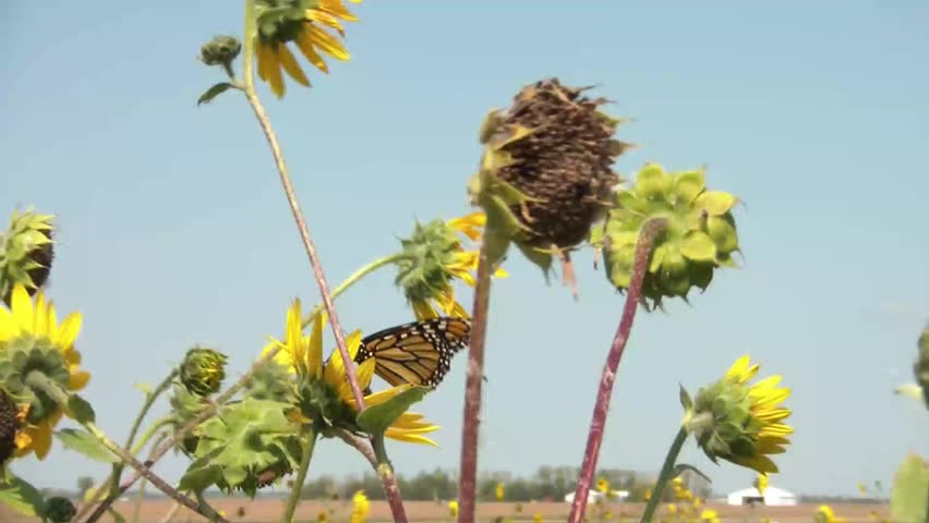 In sun, monarch butterfly flies away from sunflower field with clear blue sky in background. - HD stock footage clip
