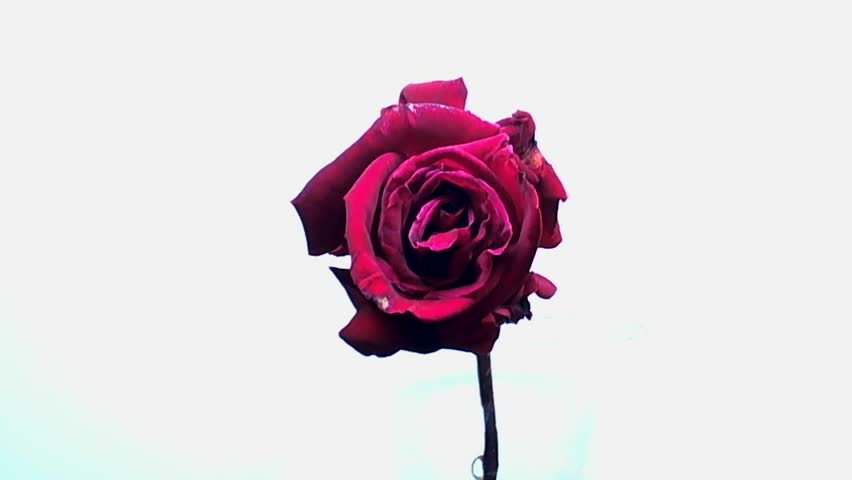 Rose Blooming and Wilting Time-lapse - This is a time-lapse video of a rose bud blooming and subsequently wilting, taken in such a way that the petals are seen falling in real time.