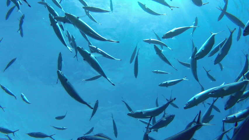 A school of striped Mackerel feeding in the Red Sea, Egypt