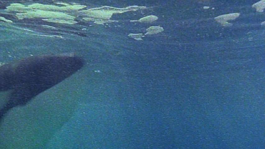 Orca whales underwater