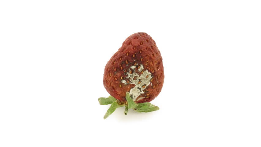 Timelapse of single strawberry rotting over white background