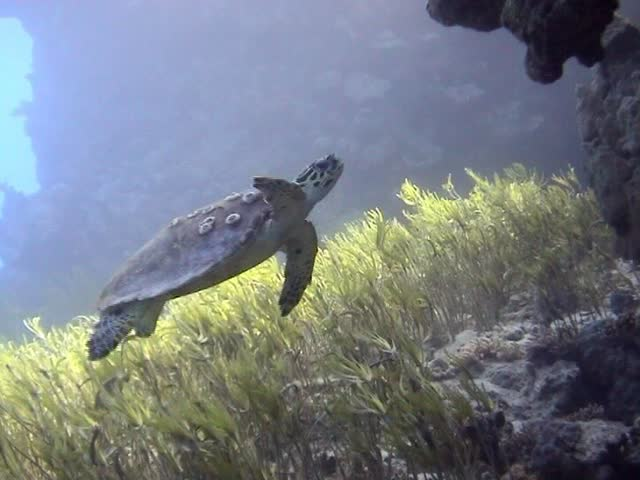 Turtle gliding beautifully through the clear Turquoise waters of the Red Sea - SD stock video clip