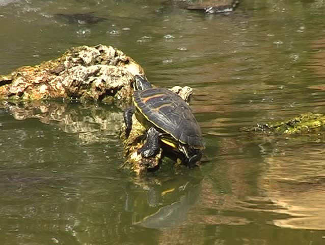 turtles swimming in water - SD stock video clip