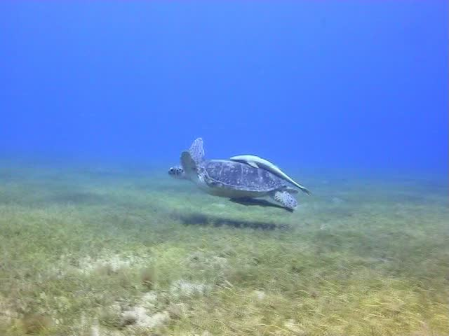 Amazing Red Sea Turtle eating and swimming in the Red Sea - SD stock video clip