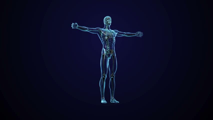 Human anatomy - CG animated seamless loop - HD stock footage clip