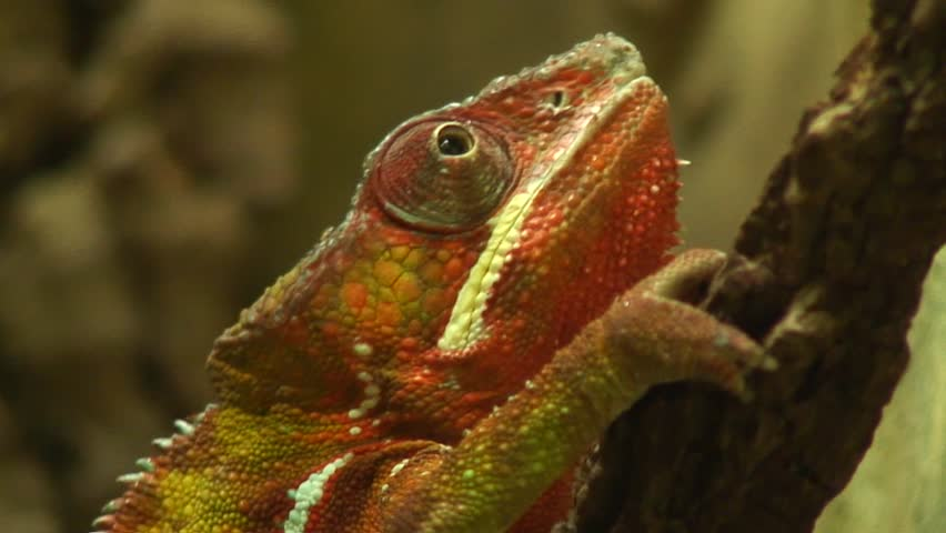 Chameleon  - HD stock footage clip