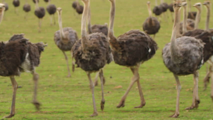 Ostriches running towards Camera - HD stock footage clip