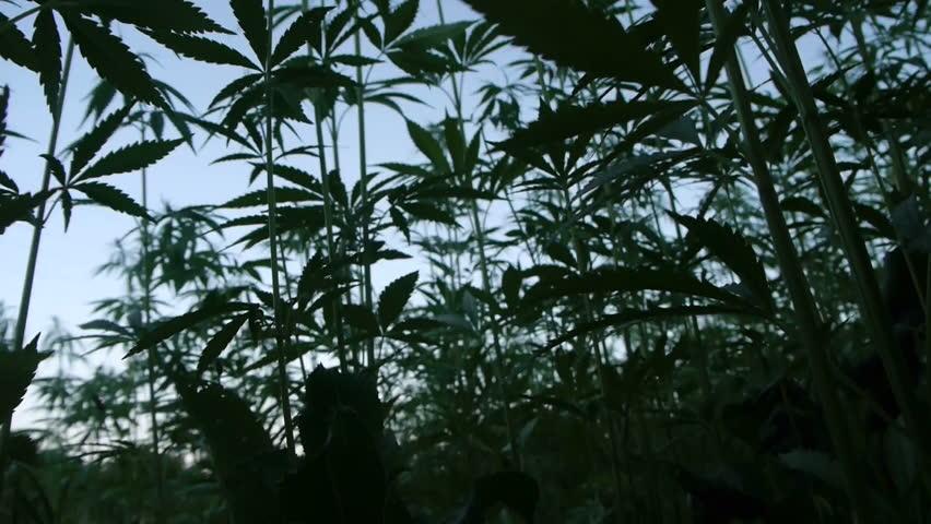 Marijuana silhouette